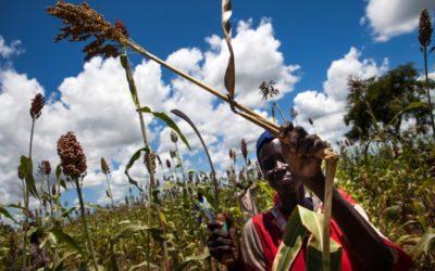 (العربية) موسم الحصاد يخفف بشكل طفيف من وطأة أزمة الجوع في جنوب السودان
