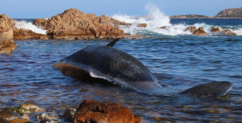 Il Mare trasformato in discarica di Plasitca, Capodoglio morto, nel ventre un feto e 22 kg di plastica